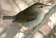 Swainson's Warbler photo by Steve Bird