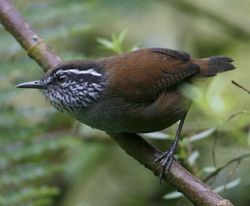 Munchique Wood Wren. Photo by Steve Bird.