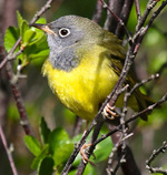 Connecticut Warbler, USA