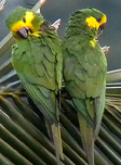 Yellow-eared Parrots, Colombia. Photo by Steve Bird.