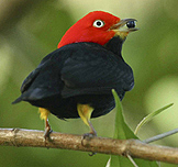 Red-capped Manakin by Ramon Fernandez Frances
