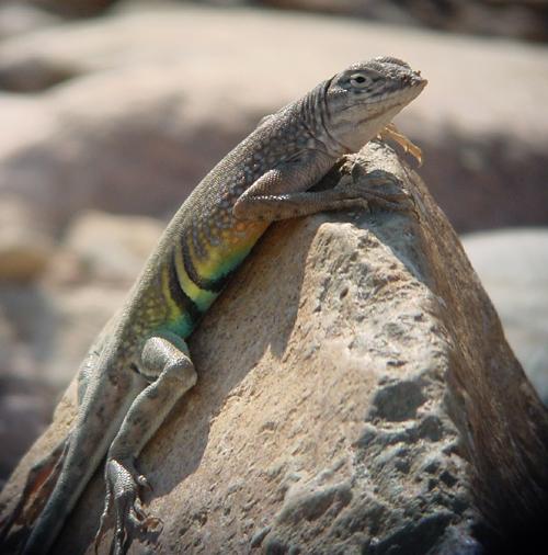 big bend reptiles images