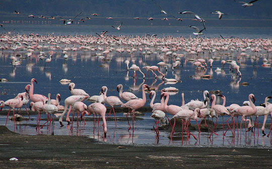 Flamingos, Lake Nakuru, Kenya. Photo by Gina Nichol.