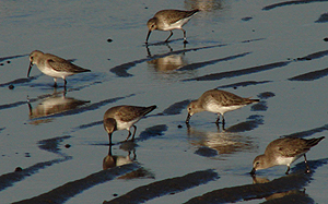 Dunlin. Photo by Gina Nichol