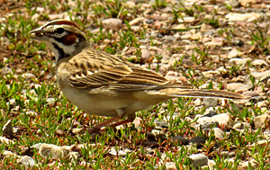 Lark Sparrow. Photo by Gina Nichol.