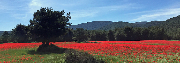 Poppy Fields in Lesvos, April 2016 by Gina Nichol.
