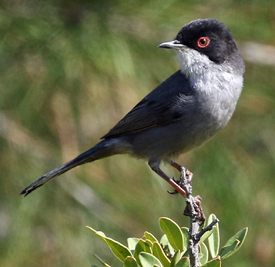 Sardinian Warbler, Lesvos, April 2016. Photo by Steve Bird.