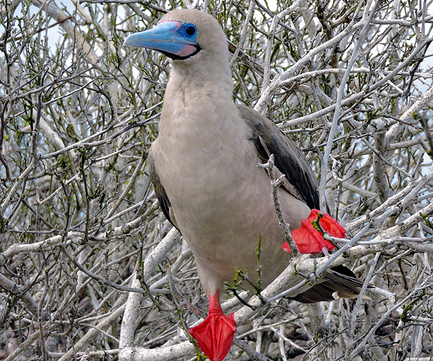 Red-footed Booby, Galapagos by Ray Brown.