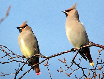 Japanese and Bohemian Waxwing by Gina Nichol.