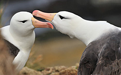 Black-browed Albatrosses by Martin van Lokven