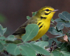 Prairie Warbler. Photo by Steve Bird.