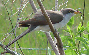 Yellow-billed Cuckoo. Photo by Gina Nichol.
