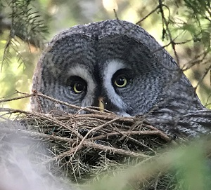 Great Gray Owl by Gina Nichol.