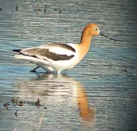 American Avocet photo by Gina Nichol.