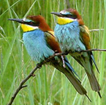Bee-eaters, Lesvos, Greece